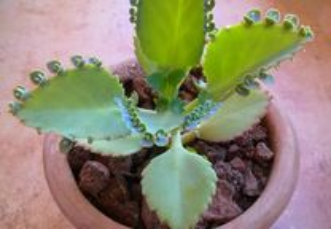 Kalanchoe Mãe Milhares Bryophyllum Daigremontianum