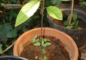 Planta da árvore Abacateiro - Pêra abacate