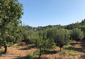 Dois Terrenos de cultura (olival)