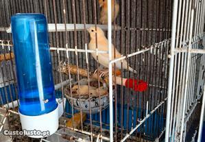 canarios , periquito ingles , mandarins