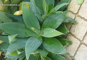 Cato Agave para plantar em jardim ou ter em vasos