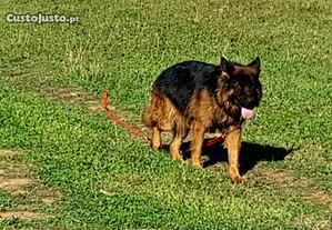 pastor alemao cachorros com lop