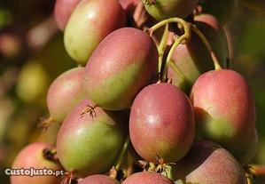 Baby KIWI ,careca, nova variedade ACTINIDIA ARGUTA