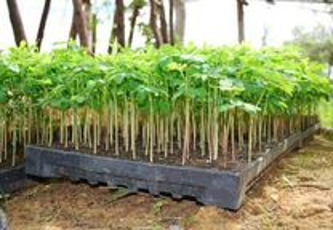 arvore subtropical Moringa