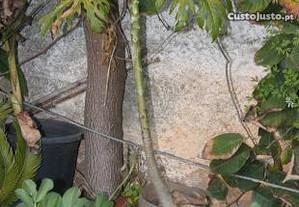 Mamoa (árvore de mamão)