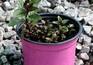 Hortelã Pimenta (planta em vaso)