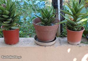 Aloes Juvenna