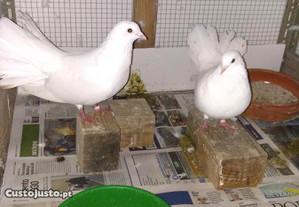 Casal pombos Rabo de Leque