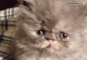 Gatinhos persas barreiro