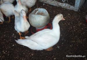 Pato caseiro e galos caseiros
