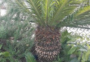 Planta cica / sica grande e pequenas