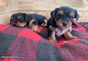 Yorkshire terrier pequenino
