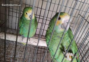 casal papagaios amazonas barbadensis 2018 anilha f