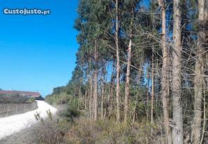 Terreno com pinheiros, eucaliptos e cisterna