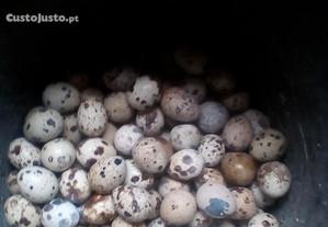 ovos de coderniz