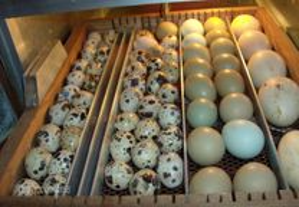 Ovos galados de galinha do campo