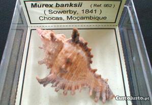 Búzio-Murex banksii caixa 6x6cm