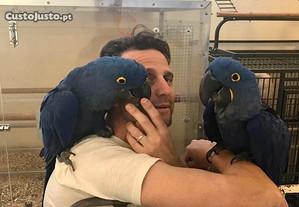 Papagaios das araras azuis à procura de seu lar pa