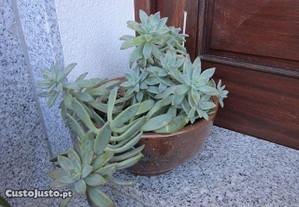 planta natural cato