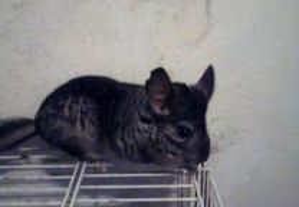 Chinchila cinza fêmea