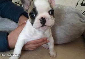 Bulldog Francês - Macho e Fêmea