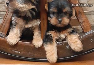 Yorkshires Terrier