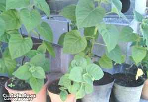Planta de fruto Physalis