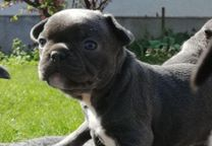 Bulldog frances azul