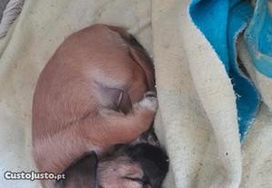 Cachorro porte pequeno pai e pequenez