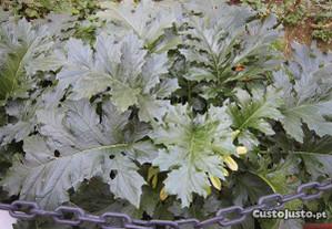 planta natural exótica Acanto grego ou pé de urso