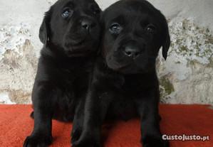 Labrador Retriever Lop e Afixo