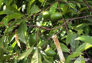 Árvores tropicais lúcumo enxertadas e nao