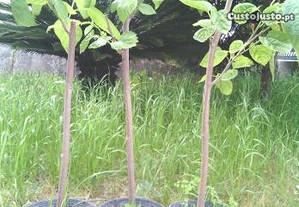 Árvore fruto Amoreira / Folha para bicho-da-seda