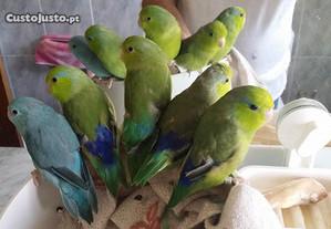 Papagaios anões (forpus) domesticados