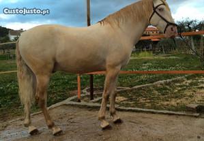 Cavalo Isabel para Cobrições