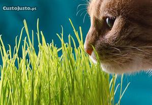 Grama / capin para Gatos, sementes