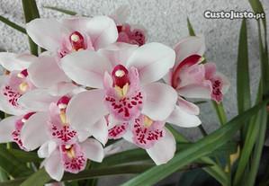 orquídea Primavera