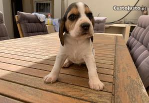 Beagles Tricolores. Fantástica linhagem! Lindos