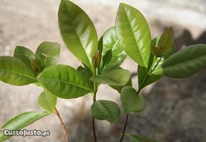 Araçá vermelho - Árvore