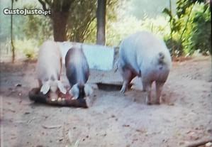 Porcos caseiros
