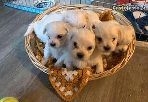 Cãozinhos e cadelinhas
