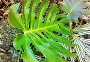 Folhas de Costela-de-adão (Monstera)