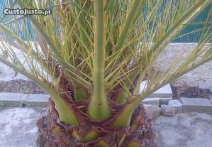 Sementes de Palmeira Phoenix canariensis