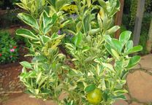 limoeiro variegata