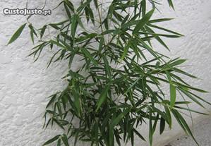 planta natural Bambu