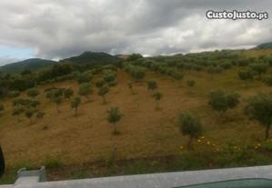 Terreno com olival