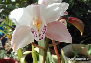 orquídea floração Primavera
