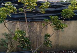 Planta schefflera