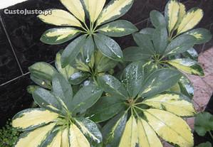 planta natural linda